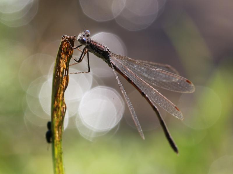 Enquête : Les yeux bleus de la Brunette hivernale (Sympecma fusca) Img_1810