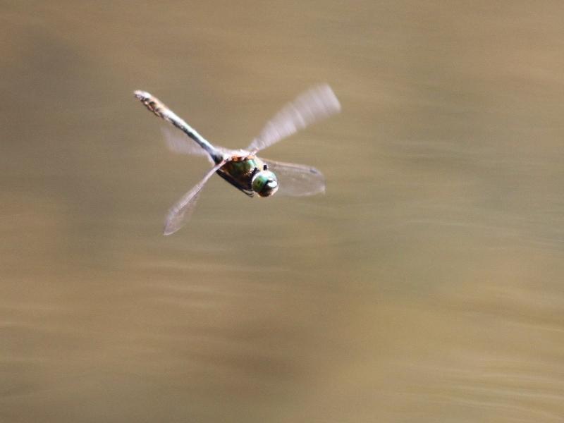 A rechercher (Mai-Juin) : la Cordulie bronzée [Cordulia aenea]  Img_2615
