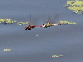 Groupe entomo du pays de Rennes : Sortie odonates à Antrain (XU17)  Img_3214