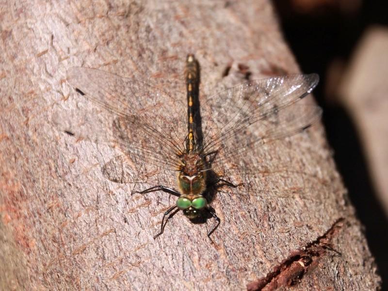 Groupe entomo du pays de Rennes : Sortie odonates à Antrain (XU17)  Img_3311