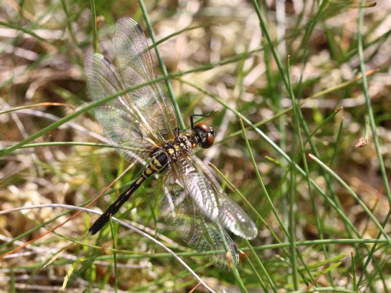 Groupe entomo du pays de Rennes : découverte d'une Leucorrhine à front blanc (Leucorrhinia albifrons) Img_3414