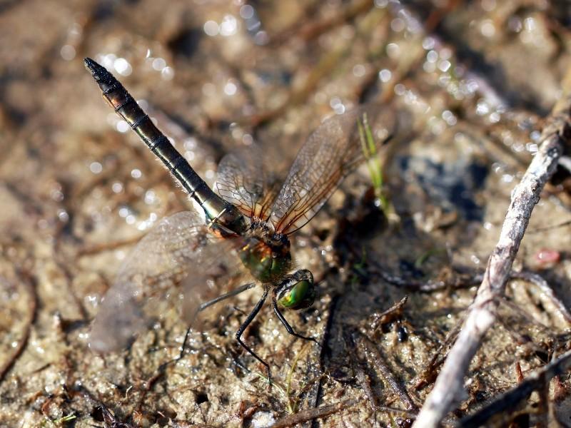 Groupe entomo du pays de Rennes : découverte d'une Leucorrhine à front blanc (Leucorrhinia albifrons) Img_3417