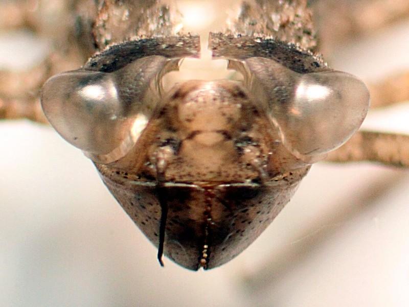 Groupe entomo du pays de Rennes : découverte d'une Leucorrhine à front blanc (Leucorrhinia albifrons) Img_3512