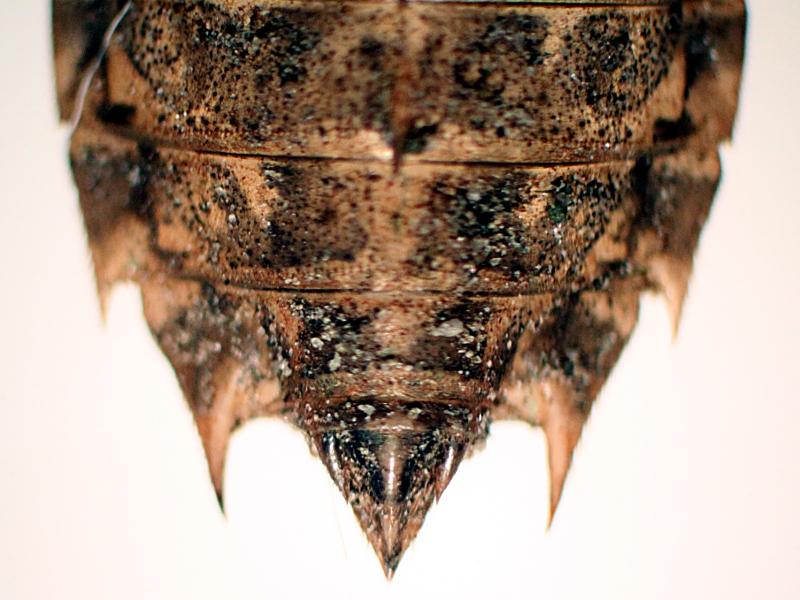 Groupe entomo du pays de Rennes : découverte d'une Leucorrhine à front blanc (Leucorrhinia albifrons) Img_3513