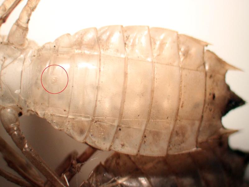Groupe entomo du pays de Rennes : découverte d'une Leucorrhine à front blanc (Leucorrhinia albifrons) Img_4010