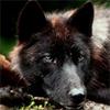 Les images des loups Nox11