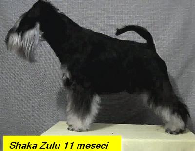 Miniature schnauzer b-s for sale Zulu_111