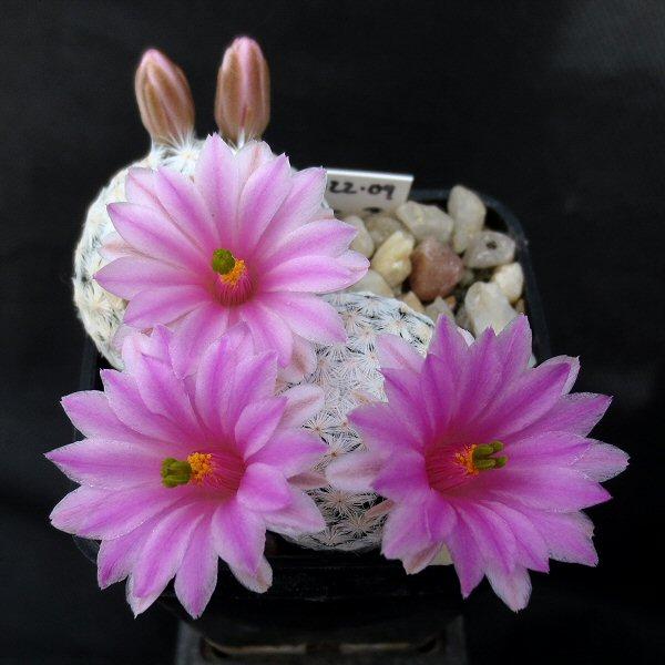 Mammillaria herrerae Mammil13