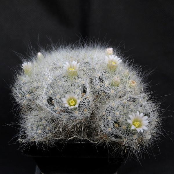 Mamm. glassii flower Mammil28