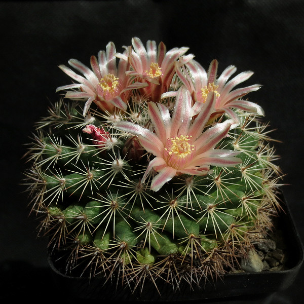 Mammillaria heyderi Mammil34