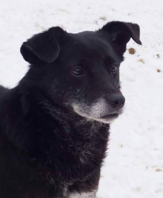 BULI (ex TZUMPI), mâle croisé labrador né en 2010 - en FA à Pascani - Adopté PAR SYBILLE (depart67) 17393010