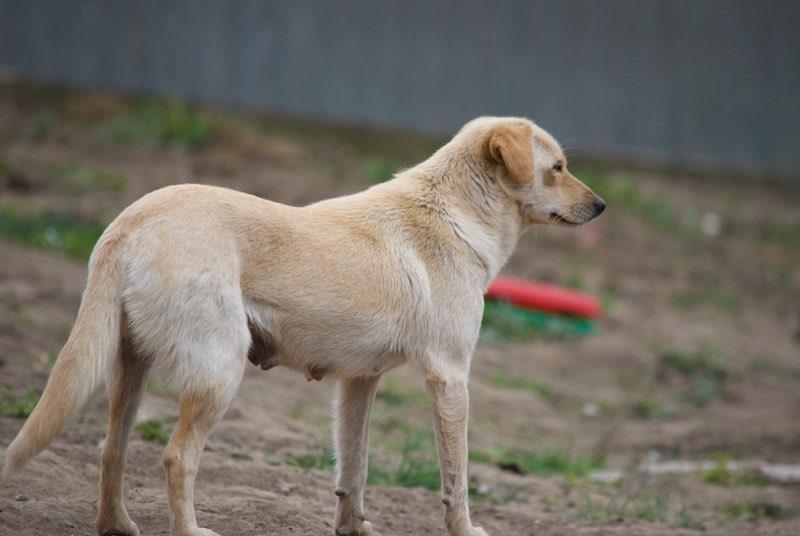 FEELING - femelle croisée labrador taille petite à moyenne née environ avril 2015 - REMEMBER ME LAND - Adoptée par Magali (68) Feelin12