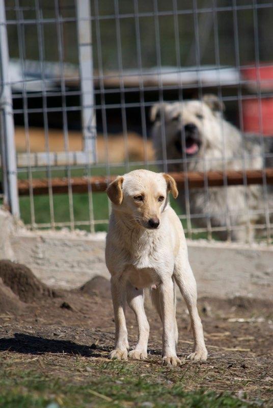 FEELING - femelle croisée labrador taille petite à moyenne née environ avril 2015 - REMEMBER ME LAND - Adoptée par Magali (68) Feelin13