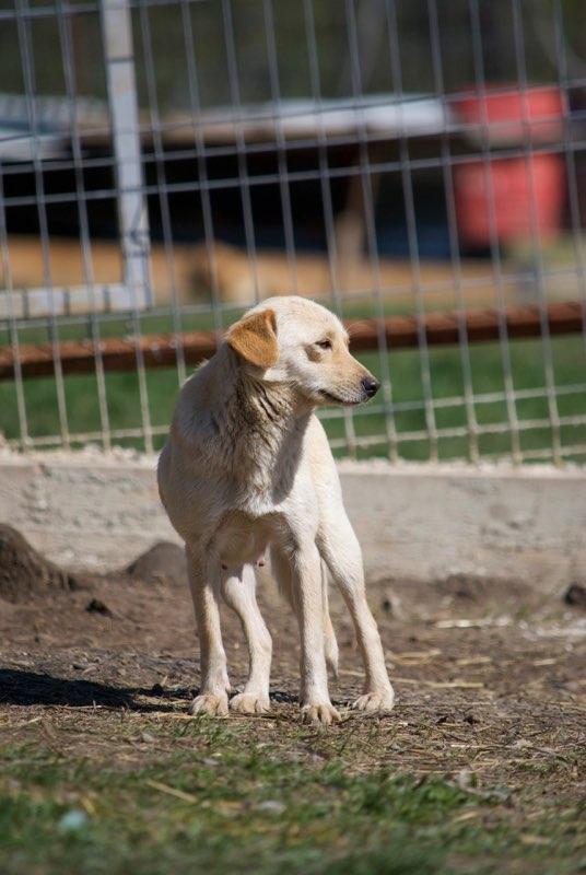 FEELING - femelle croisée labrador taille petite à moyenne née environ avril 2015 - REMEMBER ME LAND - Adoptée par Magali (68) Feelin14
