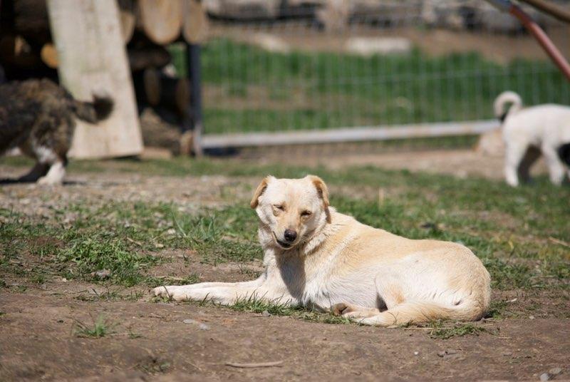 FEELING - femelle croisée labrador taille petite à moyenne née environ avril 2015 - REMEMBER ME LAND - Adoptée par Magali (68) Feelin15