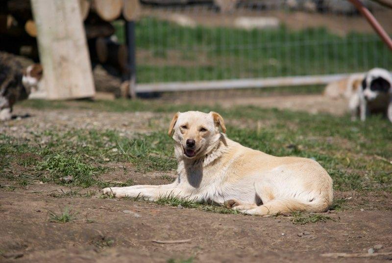 FEELING - femelle croisée labrador taille petite à moyenne née environ avril 2015 - REMEMBER ME LAND - Adoptée par Magali (68) Feelin16