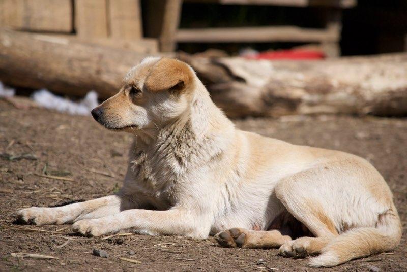 FEELING - femelle croisée labrador taille petite à moyenne née environ avril 2015 - REMEMBER ME LAND - Adoptée par Magali (68) Feelin17