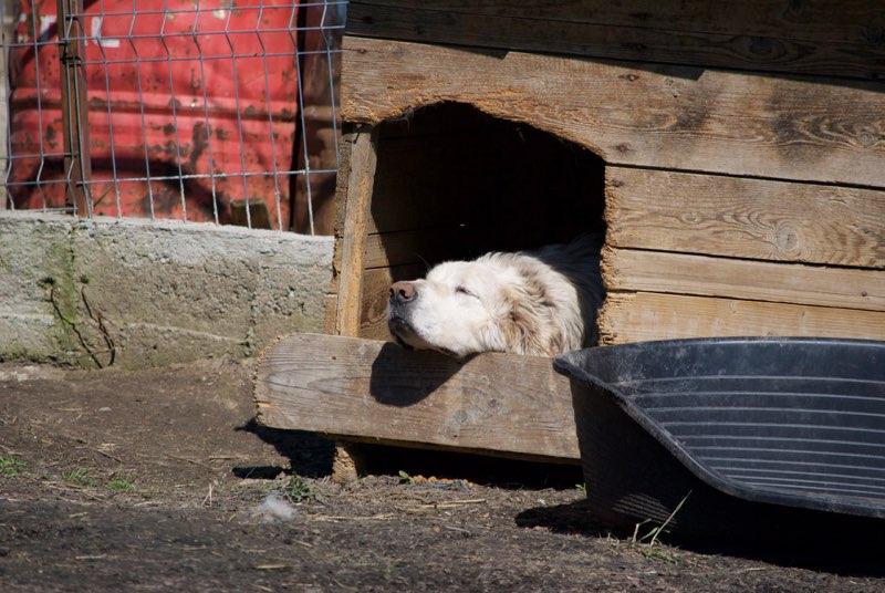 GOLIATH !! + de 3 ans de box !! mâle grande taille, né environ en octobre 2009, croisé montagne des Pyrénées (Cristesti) - REMEMBER ME LAND - En FALD chez Caroline (05) - DECEDE  - Page 3 Goliat10