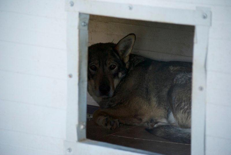 LUPI !! + de 3 ans de box !! - femelle , née environ en 2010, typée chien loup de sarloos, taille moyenne - REMEMBER ME LAND Lupi10