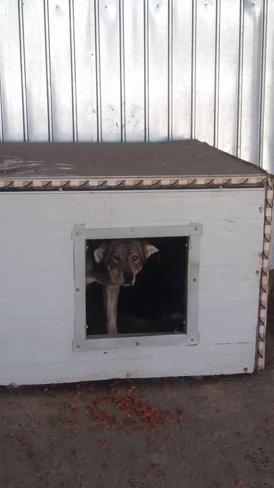 LUPI !! + de 3 ans de box !! - femelle , née environ en 2010, typée chien loup de sarloos, taille moyenne - REMEMBER ME LAND Lupi11