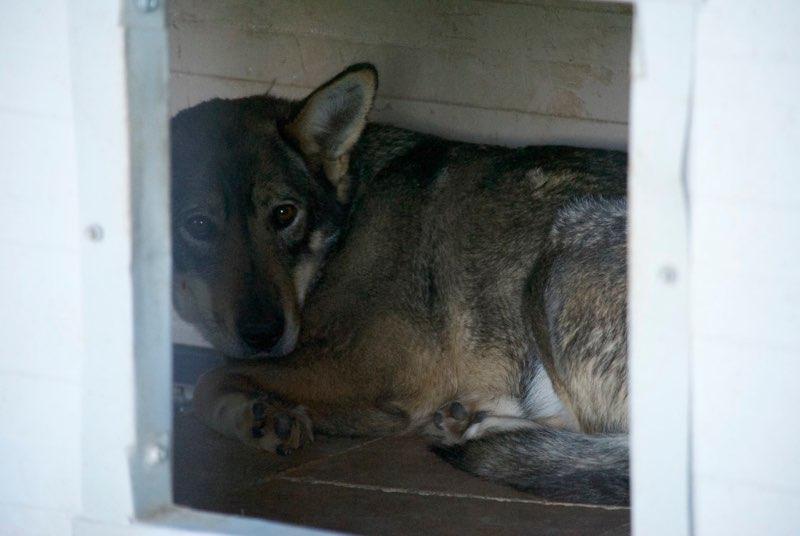 LUPI !! + de 3 ans de box !! - femelle , née environ en 2010, typée chien loup de sarloos, taille moyenne - REMEMBER ME LAND Lupi110