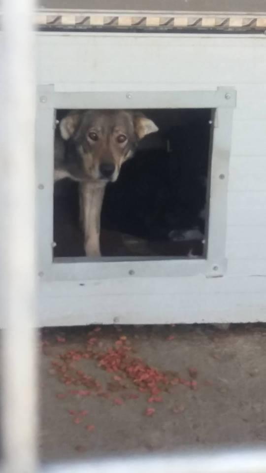 LUPI !! + de 3 ans de box !! - femelle , née environ en 2010, typée chien loup de sarloos, taille moyenne - REMEMBER ME LAND Lupi111