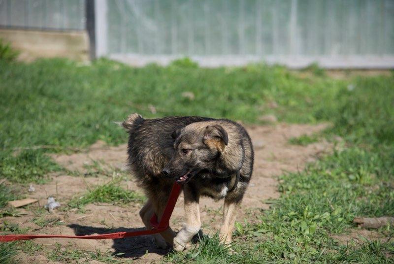 SIOUX - mâle croisé de taille petite à moyenne adulte , né env octobre 2016 (Vaslui) - adopté par Rémi (Belgique) Sioux110