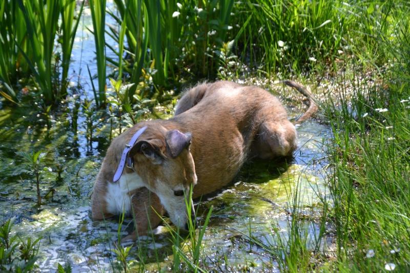 Un ragondin(Corra) dans le lac! Dsc_0610