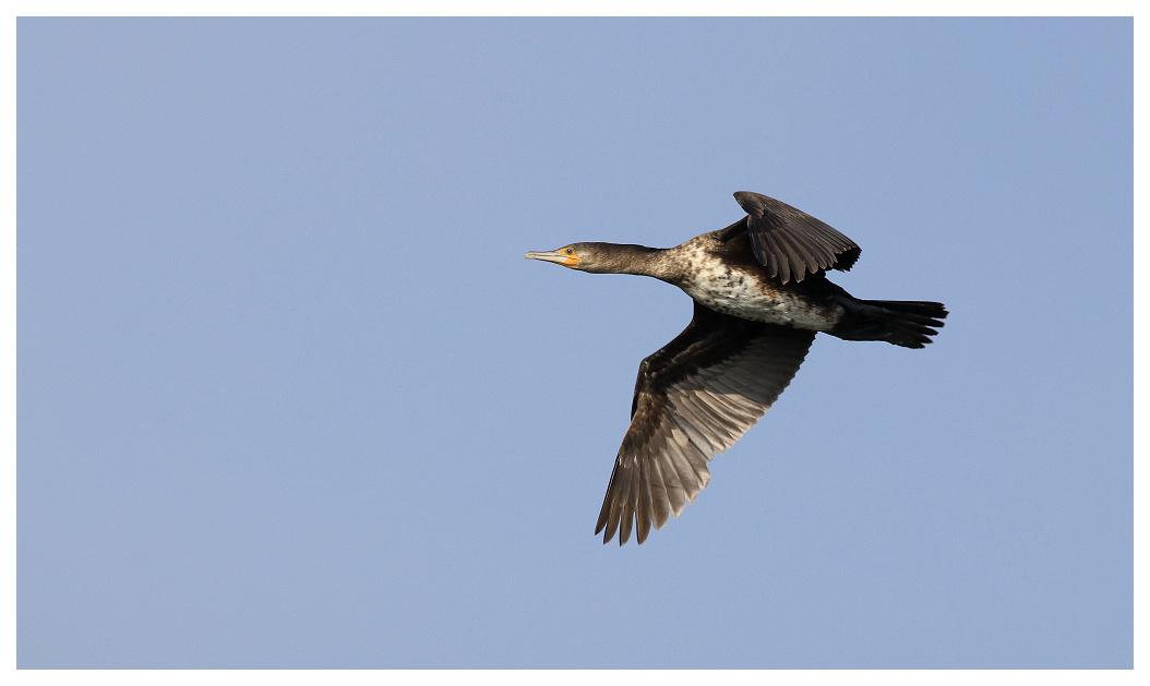 Grand cormoran Cormo010