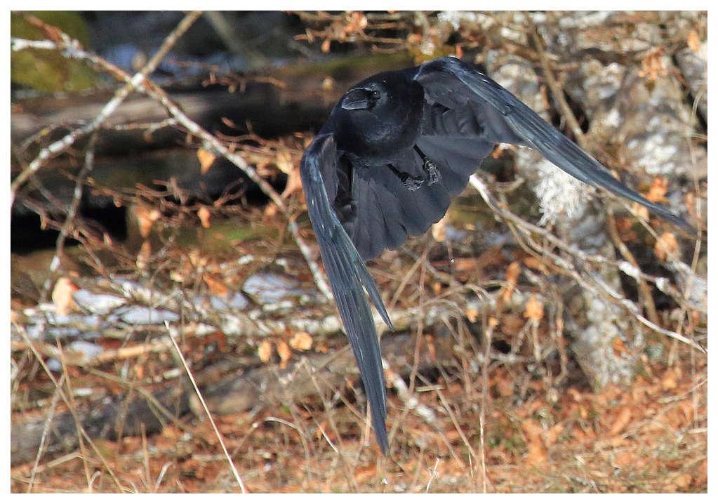 Crow...ah ! Crow10