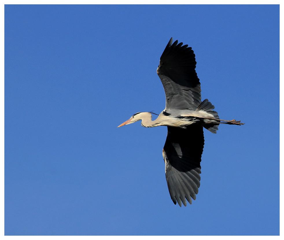 Hérons Heron010