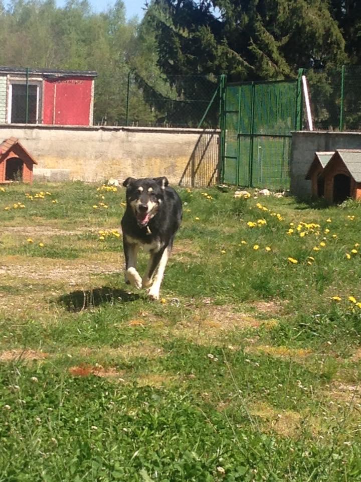 DILL - x husky 13 ans (11 ans de refuge)  Asso Eden Valley à Recanoz (39) Dillou10