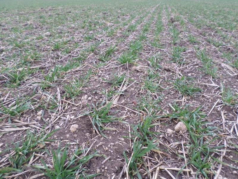 semis de blé 2013-2014 - Page 20 Sam_0110