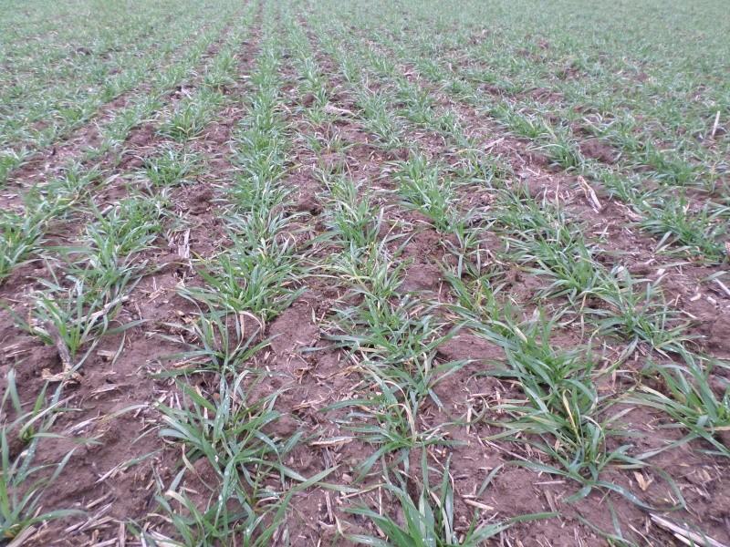 semis de blé 2013-2014 - Page 20 Sam_0111
