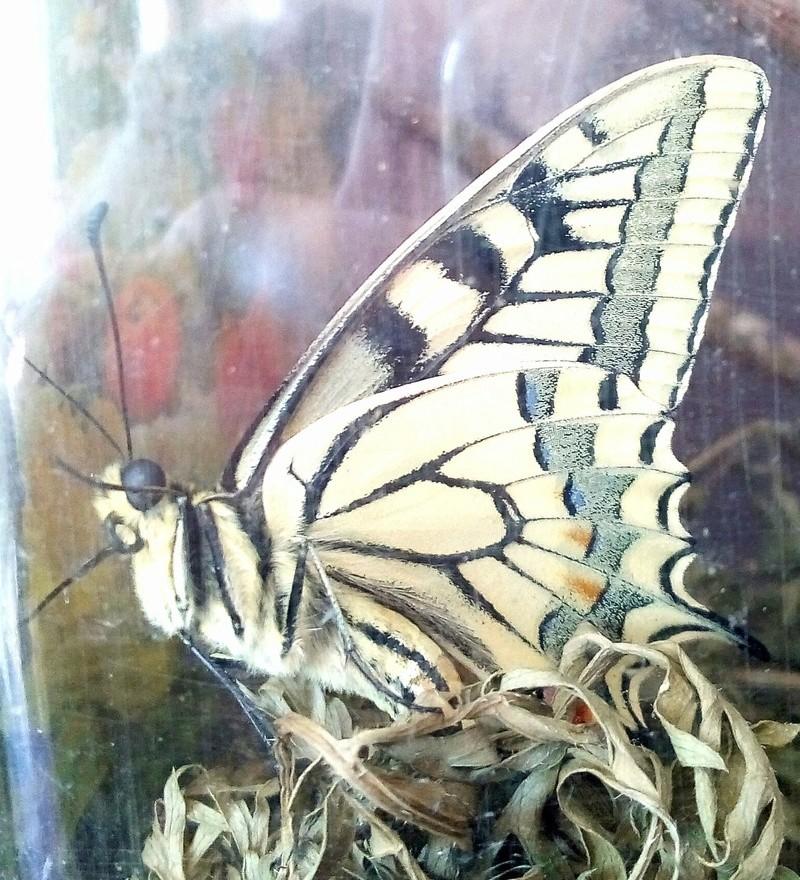 Chrysalides de machaon : sorties de papillon encore possibles ? Img_2012