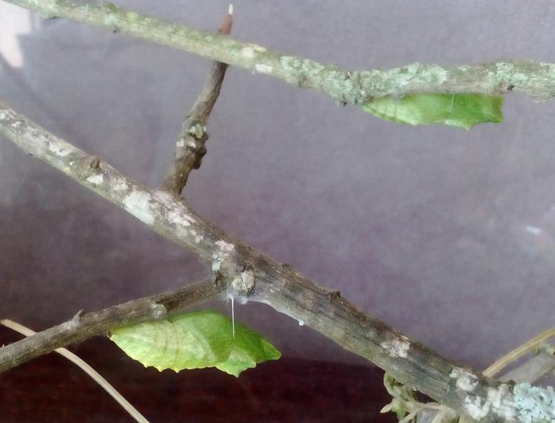 Chrysalides de machaon : sorties de papillon encore possibles ? Machao10