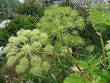 Angelica et Euphrasia : deux plantes pour combattre des maladies à la Fin des Temps ! 220px-10