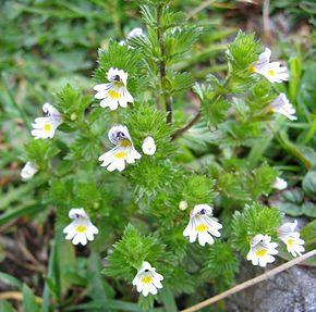 Angelica et Euphrasia : deux plantes pour combattre des maladies à la Fin des Temps ! 290px-11
