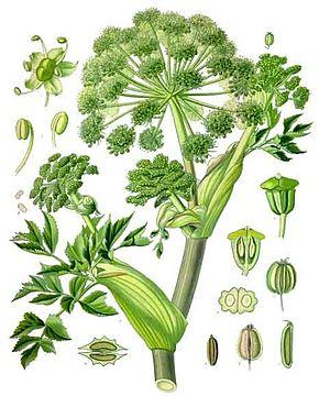 Angelica et Euphrasia : deux plantes pour combattre des maladies à la Fin des Temps ! Angeli10