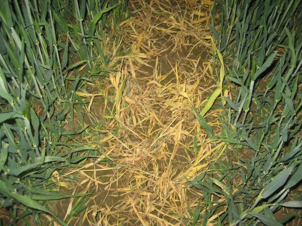 grain vert dans traces de pulvé : solution Img_2335
