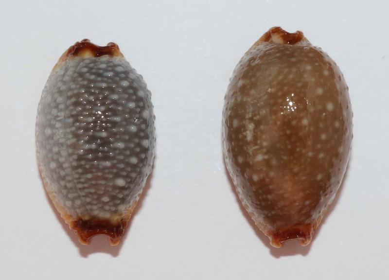 Staphylaea staphylaea staphylaea - (Linnaeus, 1758) Staphy10