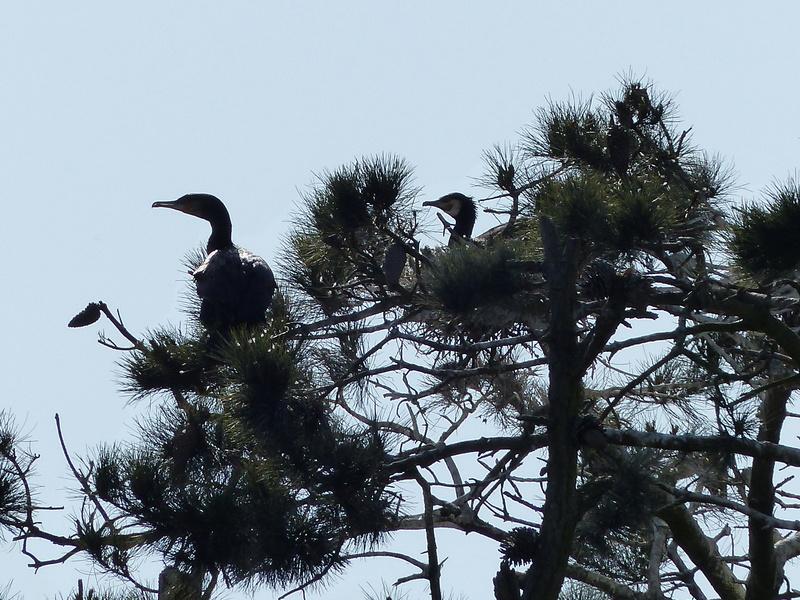 Grand cormoran P1120613