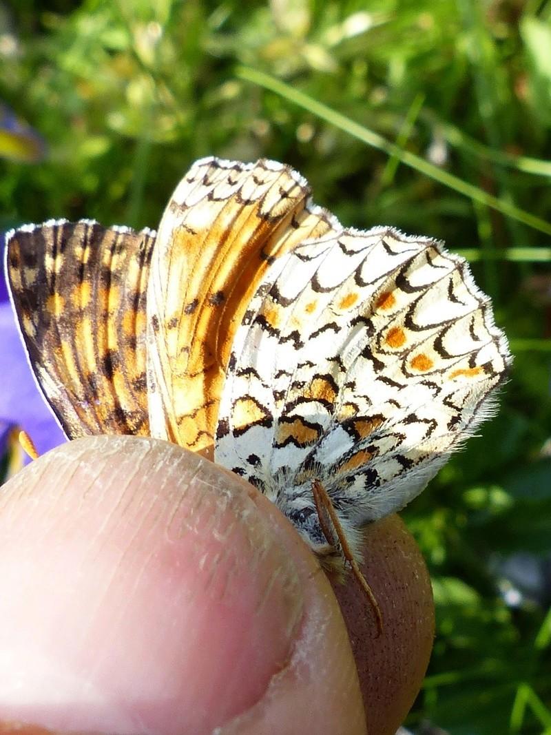 Melitaea phoebe P1120915