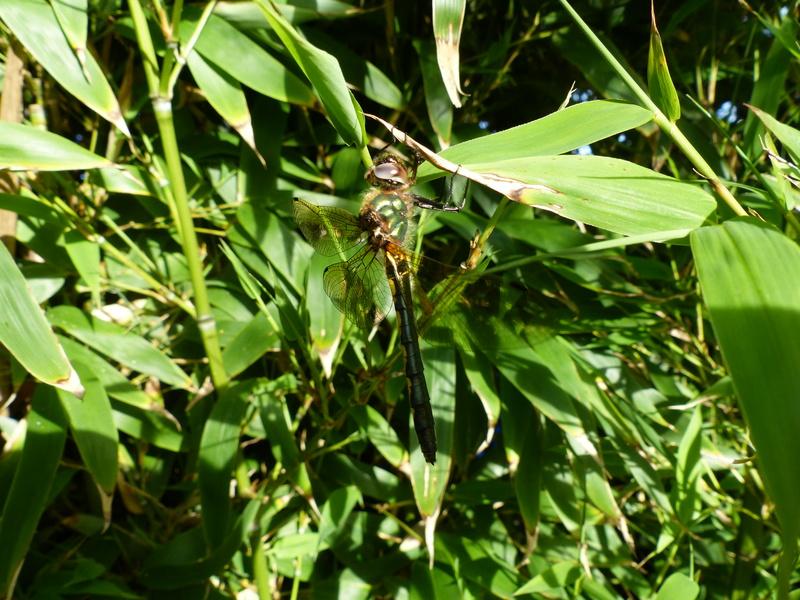 Oxygastra curtisii P1130211