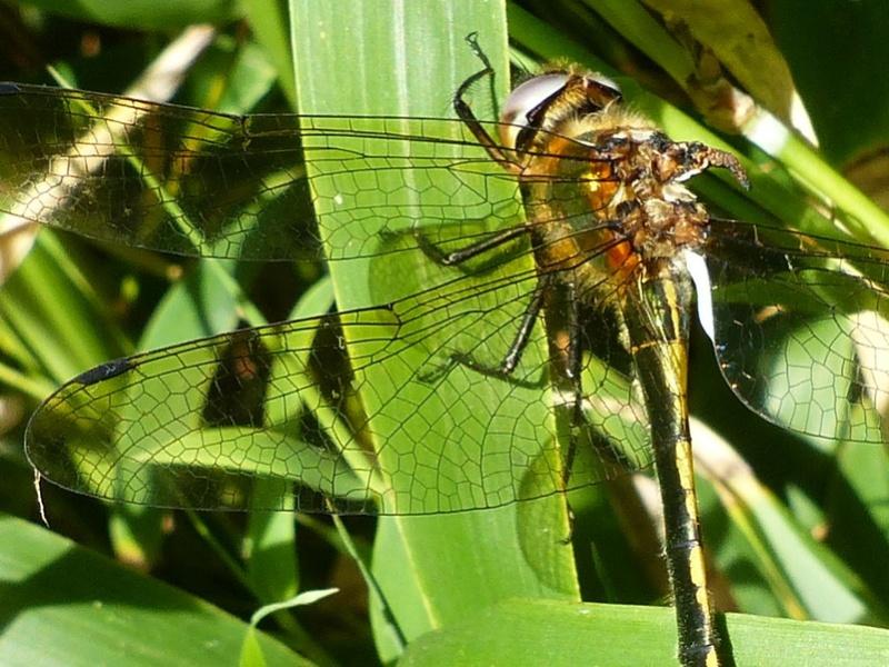 Oxygastra curtisii P1130212