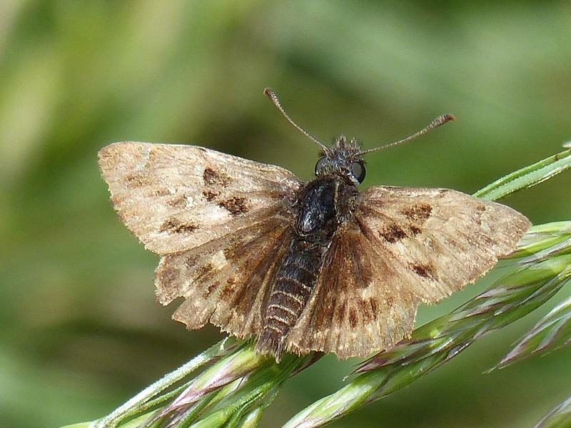 Carchadorus alcea P1130510