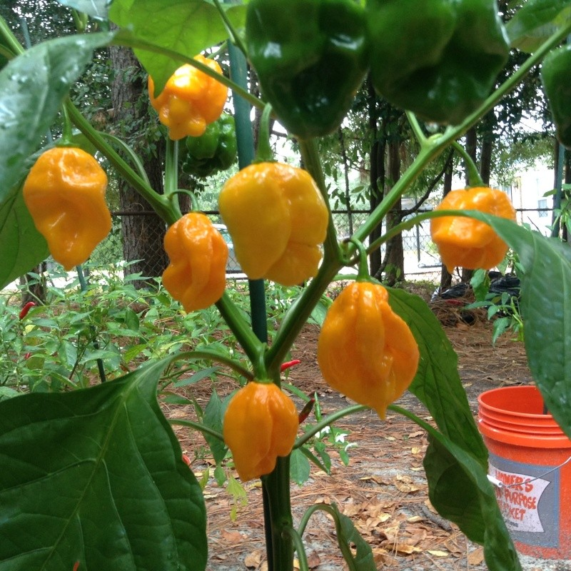 ghost peppers. Image_10