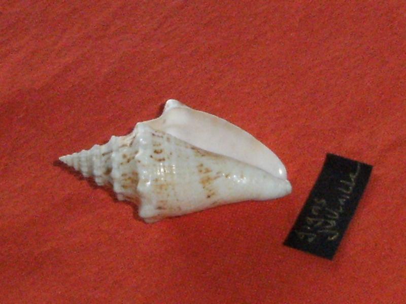 Strombus gigas (Linnaeus, 1758) voir Lobatus gigas (Linnaeus, 1758) Dscf4010