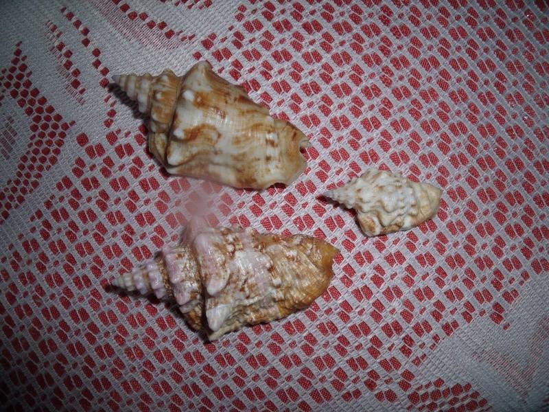 Strombidae Persististrombus granulatus - (Swainson, 1822) Dscf4210
