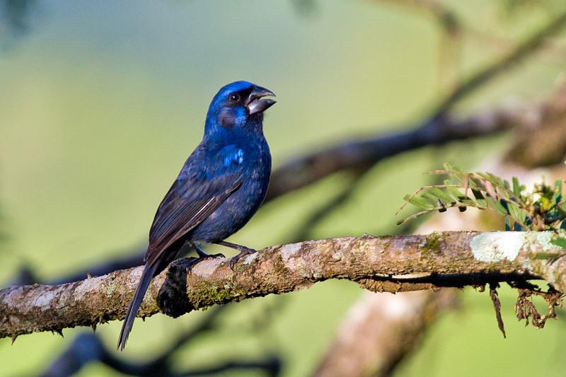 Saiba Tudo Sobre a Criação de Azulão - Página 4 53238110